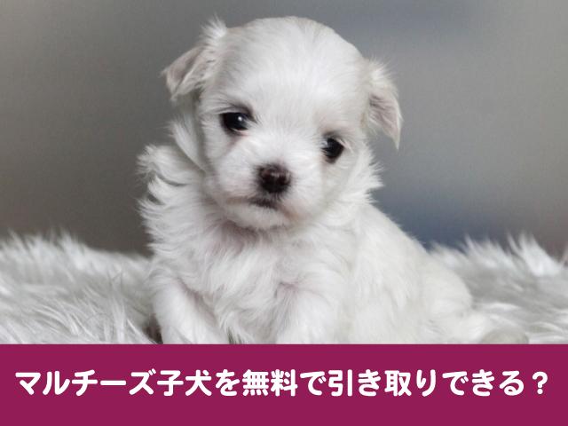 マルチーズ 里親 子犬 無料 引き取り 譲渡 費用 募集